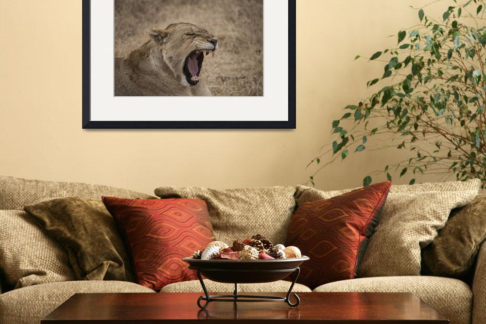"""""""Lioness Yawning II&quot  (2012) by SederquistPhotography"""