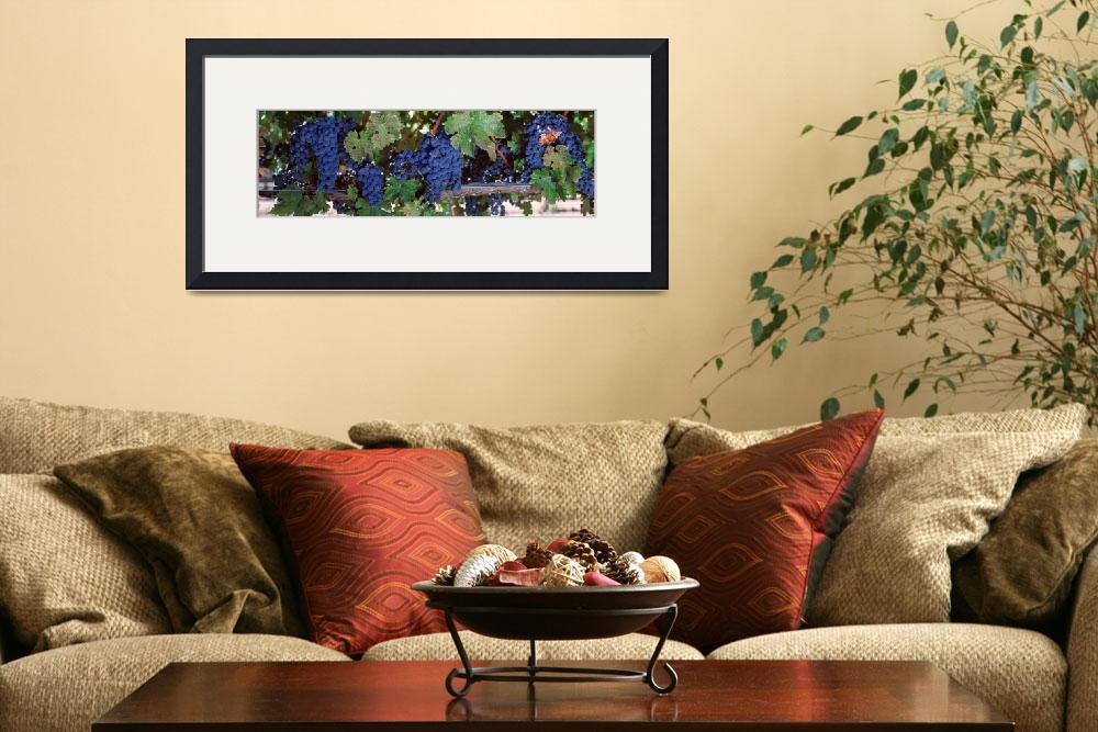 """Grapes Napa Valley CA&quot  by Panoramic_Images"