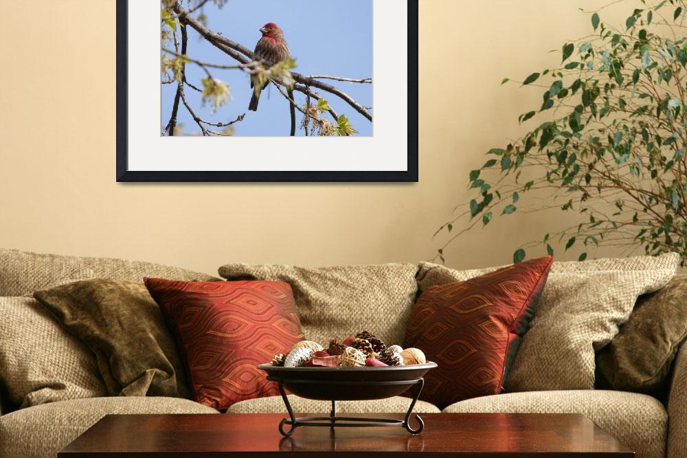 """House Finch sitting in the tree&quot  by cameragal"