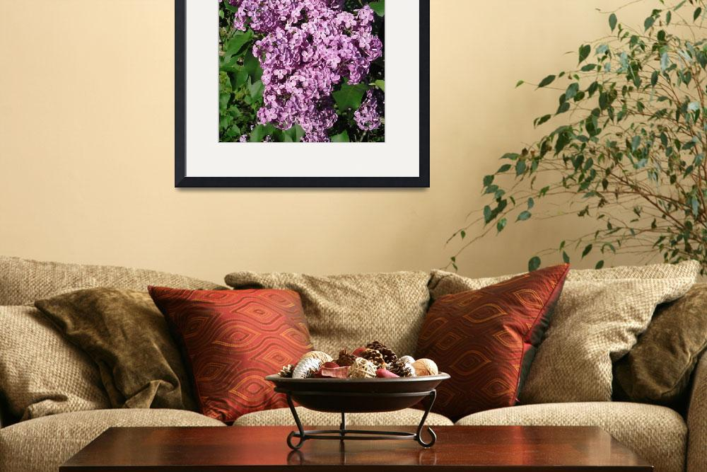 """Highland Park, Rochester NY - Lilacs&quot  by stacywest"