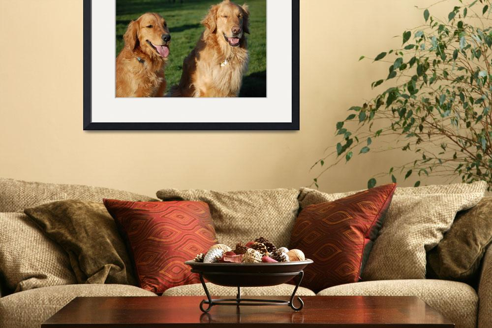 """Golden Retrievers&quot  by kncphotos"