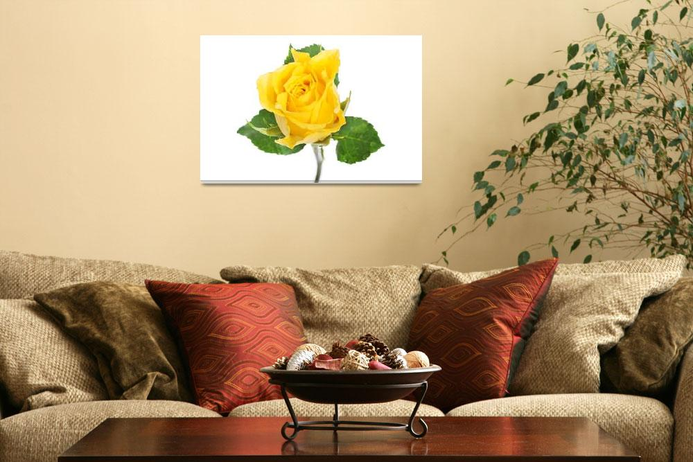 """""""One separated yellow rose. Isolated on white.""""  by Piotr_Marcinski"""