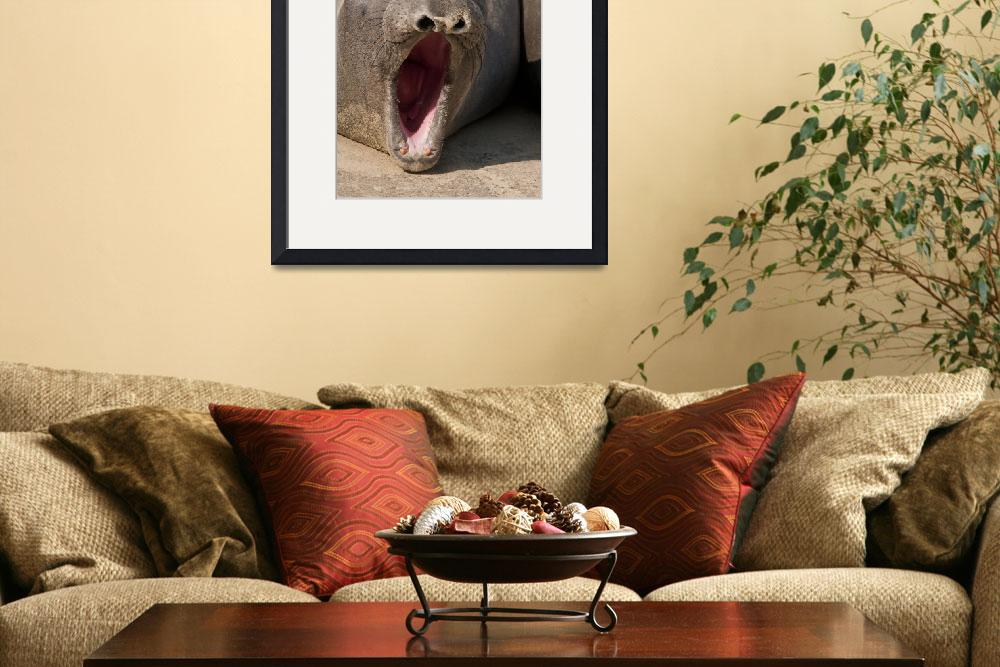 """""""Barking Elephant Seal""""  (2011) by SederquistPhotography"""