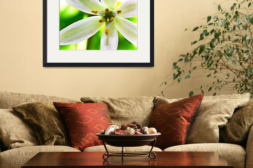 """THE ""STAR-OF-BETHLEHEM"" WILD GRASS LILY&quot  (2010) by photographybyryankelly"