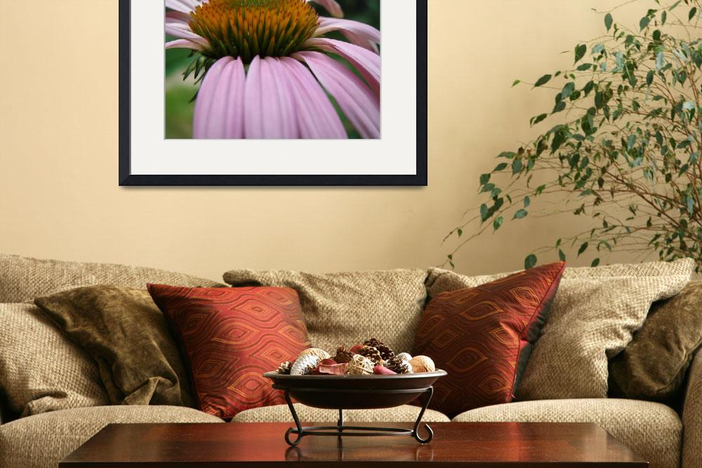 """first coneflower of 2008&quot  by ashlie_conway"