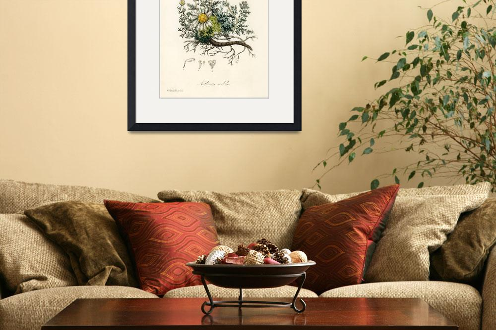 """""""Vintage Botanical Chamomile""""  by FineArtClassics"""