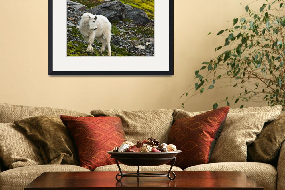 """""""Young Mountain Goat Billy Is Grazing On Plants, Al&quot  by DesignPics"""