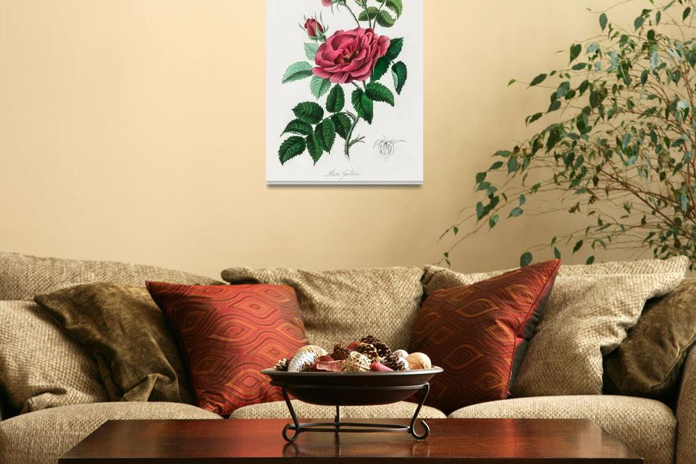 """""""Vintage Botanical French rose&quot  by FineArtClassics"""