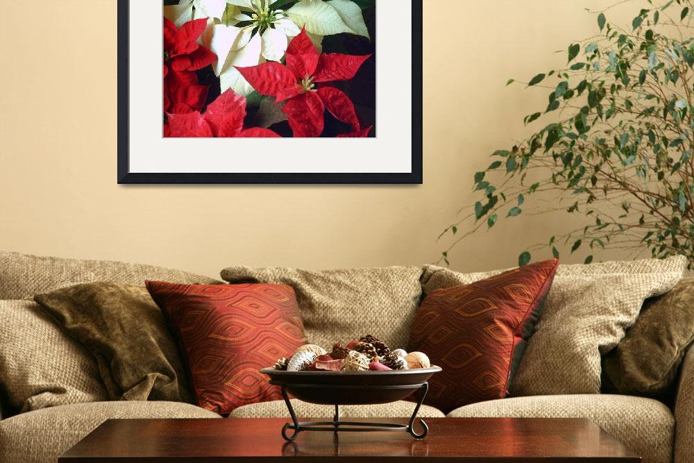 """Mixed color Poinsettias 2&quot  (2007) by ChristopherInMexico"