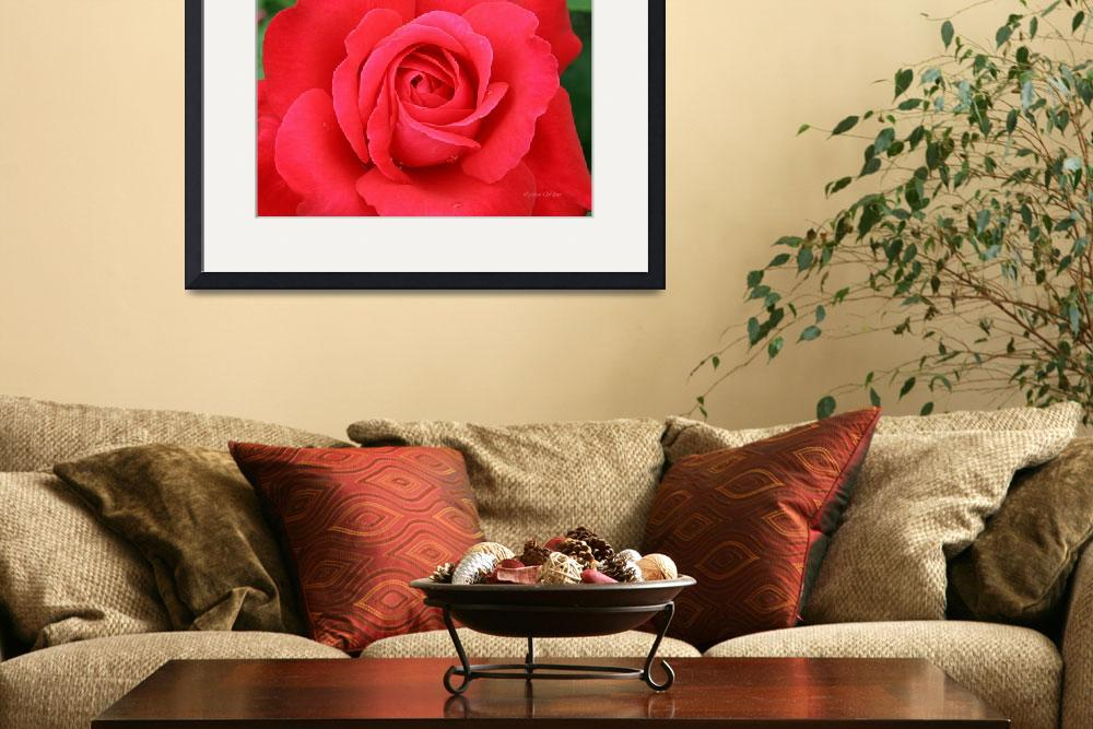 """""""blooming red rose&quot  (2008) by daisyjoan"""