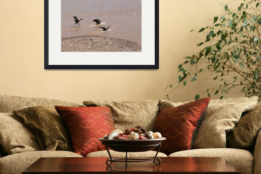 """""""Canada geese (landing)&quot  (2009) by Albertphoto"""