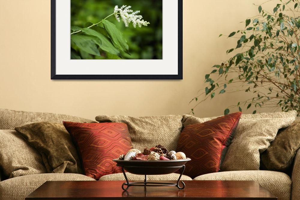"""False solomon‰Ûªs seal flower (Smilacina racemosa&quot  by Panoramic_Images"