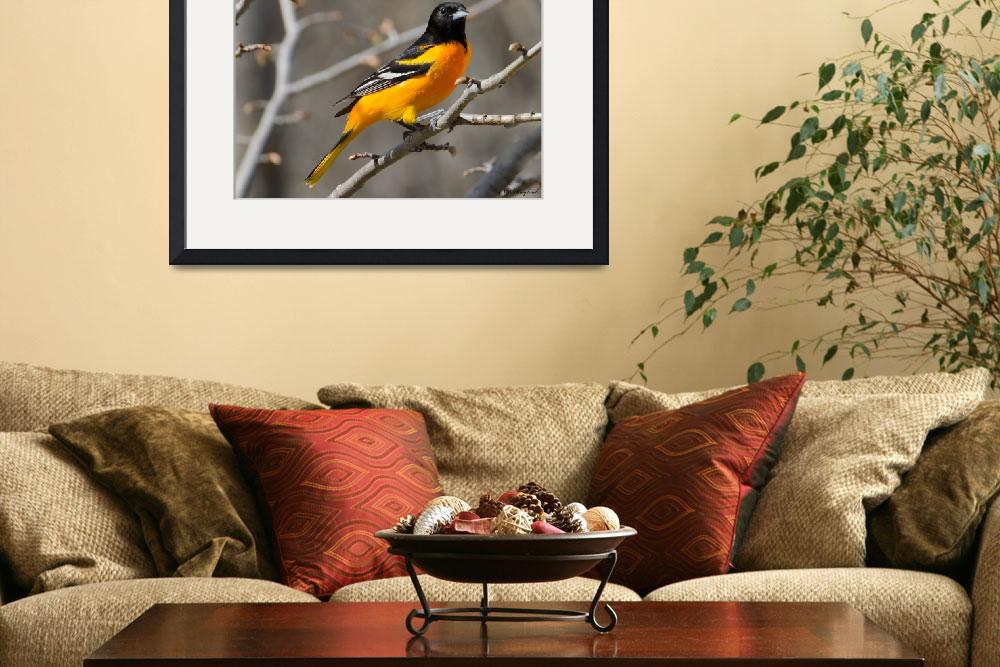 """Baltimore Oriole 120&quot  (2014) by Northernguy"