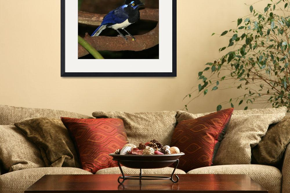"""Plush-crested Jay (Hurraca Común)&quot  (2008) by birdphotos"