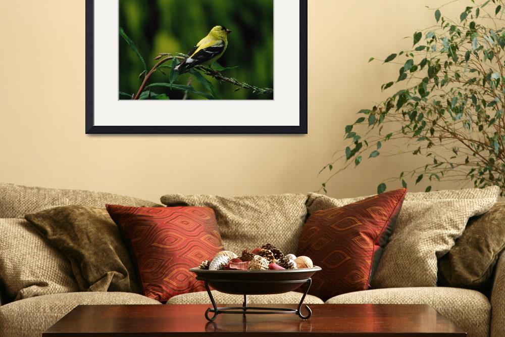 """""""goldfinch from slide&quot  (2007) by birdwatcher"""