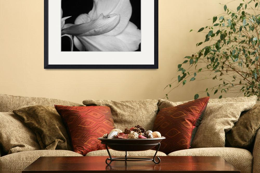 """""""Amaryllis Flower about to Bloom in black and white&quot  (2011) by lightningman"""