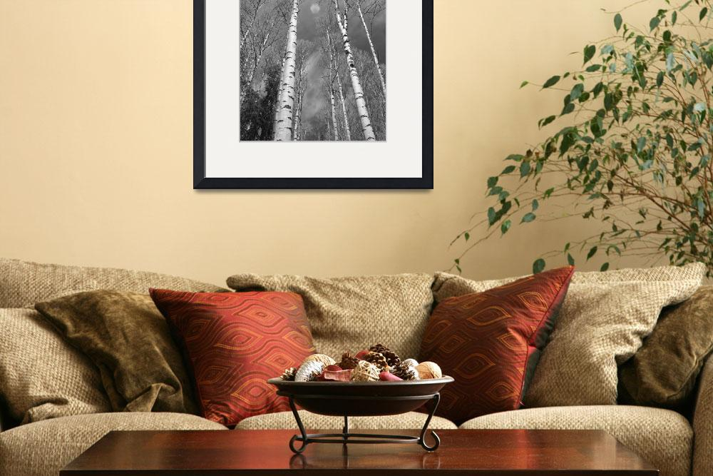 """""""Towering Aspen Trees in Black and White&quot  (2010) by lightningman"""
