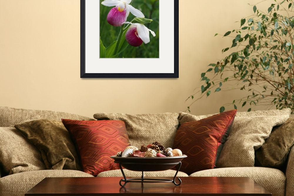 """""""Lady slipper orchids (Cypripedium calceolus)&quot  by Panoramic_Images"""