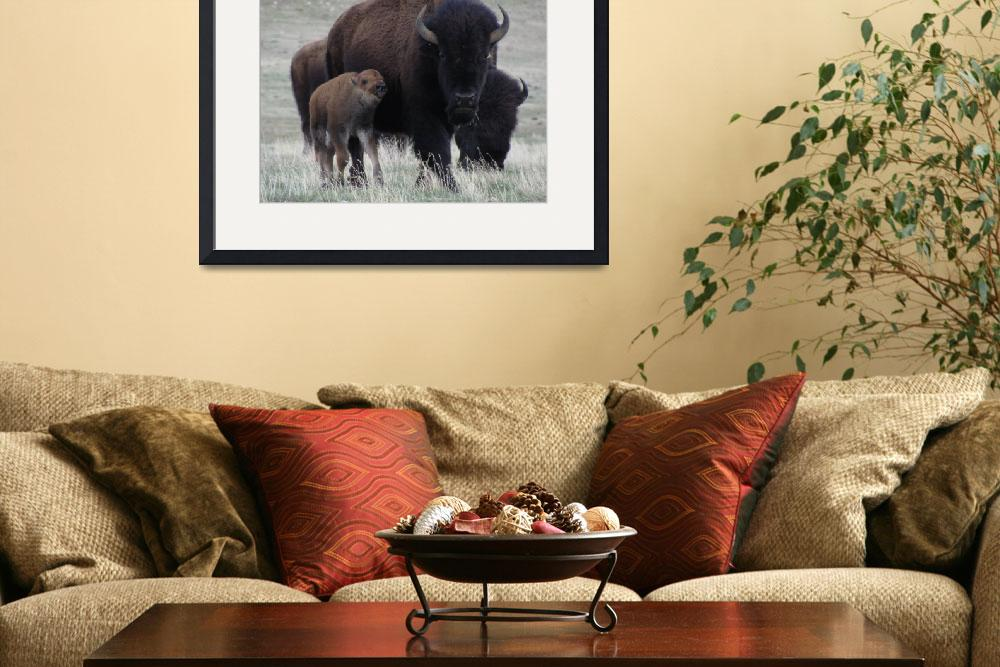 """""""Bison, Mother & Calf.&quot  (2012) by justnaturephotography"""