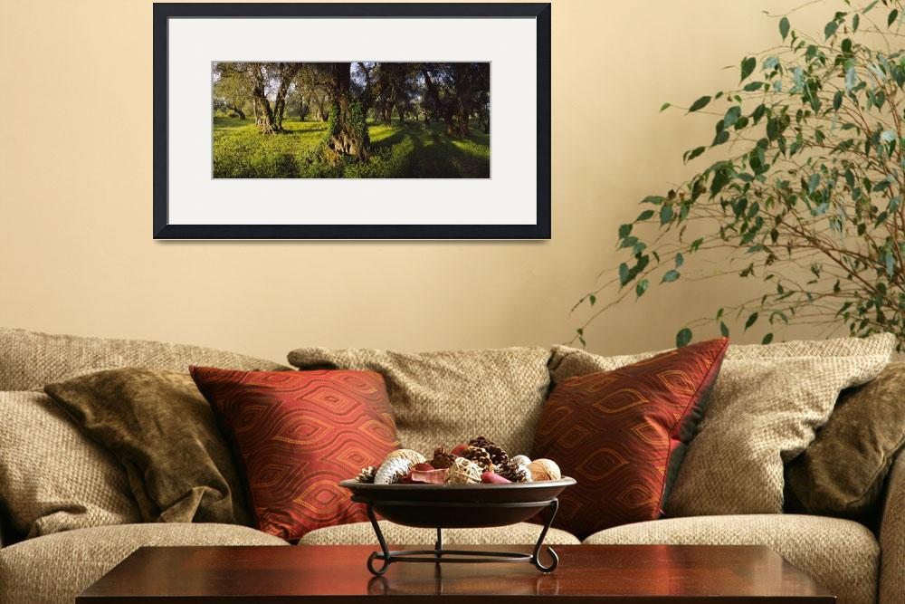"""""""Olive trees on a landscape&quot  by Panoramic_Images"""