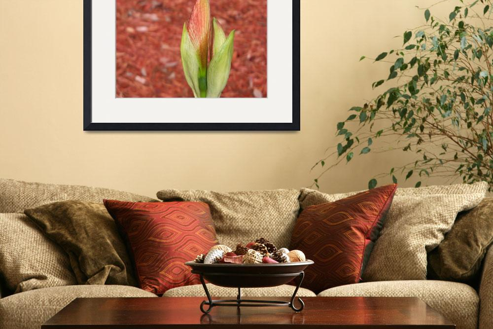 """""""Close look at a delicate Amaryllis bud&quot  (2017) by NormaStampSunnyDaze"""