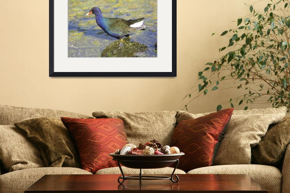 """Purple Gallinule Photograph&quot  by ArtLoversOnline"