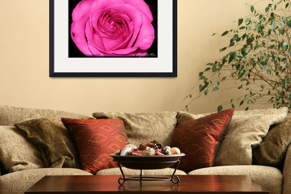 """Pink Rose&quot  (2012) by photosbykriss"