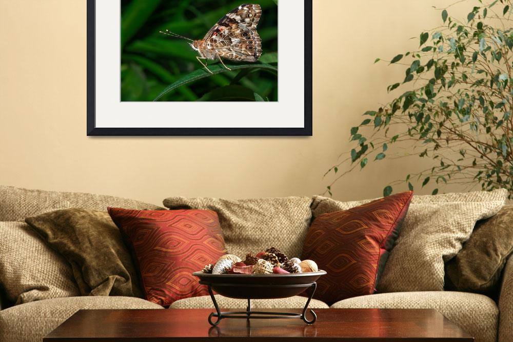 """Common Buckeye (Junonia coenia) butterfly&quot  (2012) by eyalna"