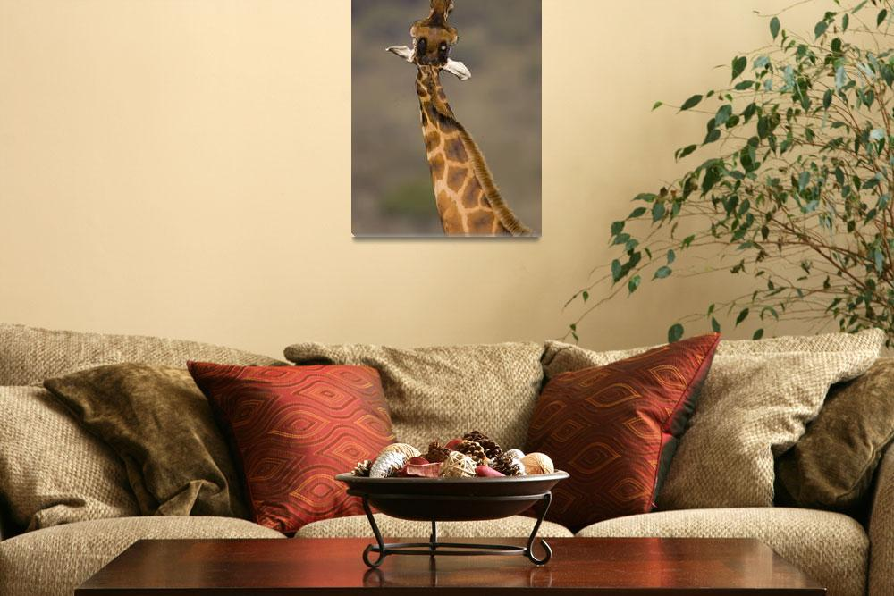 """""""Close-up of a Rothchilds Giraffe (Giraffa Camelop""""  by Panoramic_Images"""